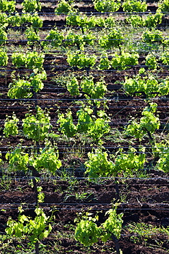 France, Corsica, Haute-Corse Department, Le Cap Corse, Patrimonio, vineyard