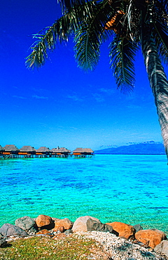 Beautiful palm trees as scenic on water in Tahiti in French Polynesia in the South Pacific Rim