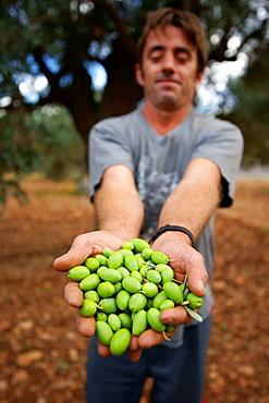 Olive harvest, Alqueria Blanca, Bunyola, Tramuntana, Mallorca, Spain Balearic Islands