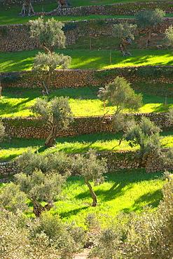 Olive, Sa Serra de Tramuntana Majorca Valldemossa Son Moragues Balearic Spain