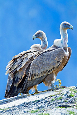 Adult griffon vulture Gyps fulvus perched on a cliff in Ordesa y Monte Perdido National Park Pyrenees Torla Huesca province Aragon Spain