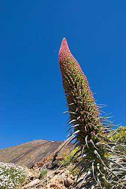 Tower Of Jewels Flowers, Echium Wildpretii, Mount Teide, National Park, Tenerife, Canary Islands, Atlantic Ocean