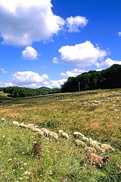 Bosnia and Hercegovina sheep near Sarajevo