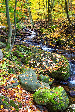 Stream, forest and fallen leaves in autumn, Harz, Germany, Europe