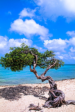 Beach and the famous lone Divi Tree in Palm Beach on colorful vacation in Aruba