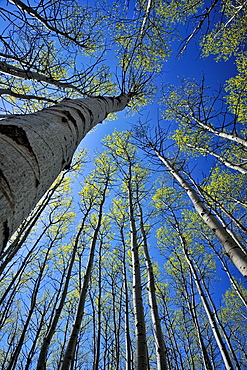 Looking up in an aspen woodland in early spring, Greater Sudbury , Ontario, Canada