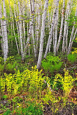 Woodland birches and ferns, Wanup, Ontario, Canada
