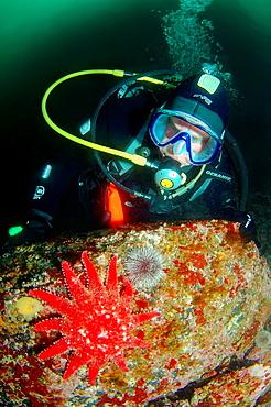Asterozoa, crossaster crossaster papposus Arctic, Russia, Barents sea