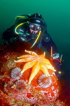 Green sea urchin, starfish solaster endeca, Strongylocentrotus droebachiensis, Arctic, Russia, Barents sea