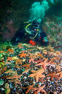Common Starfish Asterias rubens, Arctic, Russia, Barents sea