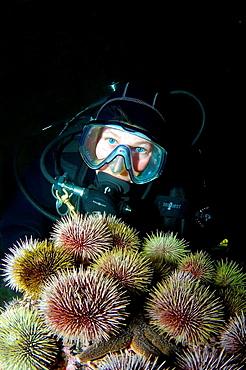 Green sea urchin Strongylocentrotus droebachiensis Arctic, Russia, Barents sea