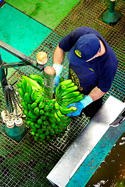 Handling and packaging of bananas, San Andres y Sauces, La Palma, Canary Island, Spain.