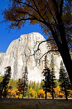 Yosemite Valley, Yosemite National Park, California, USA, El Capitan framed by a black oak Quercus kelloggii and ponderosa pines Pinus ponderosa