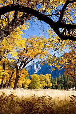 Yosemite Valley, Yosemite National Park, California, USA, El Capitan Meadow, Sentinel Rock in distance, black oaks Quercus kelloggi, November