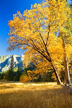Yosemite Valley, Yosemite National Park, California, USA, El Capitan Meadow, black oak Quercus kelloggii and ponderosa pines Pinus ponderosa, granite cliffs, November