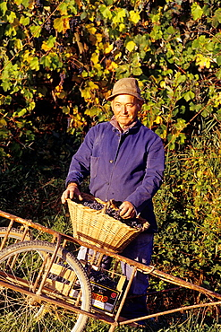 grape-picker at Novello, province of Cuneo, Piedmont region, Italy, Europe