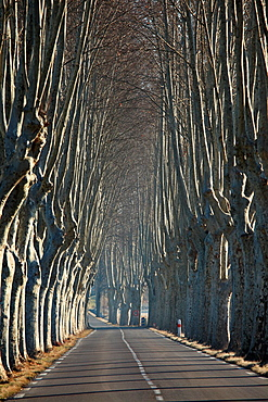 Typical Provence road with sycamore tree, Alpes de Haute Provence, 04, PACA, France