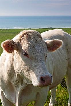 France, Nord-Pas de Calais Region, Pas de Calais Department, Cote d-Opale Area, Escalles, cow by Cap Blanc Nez cape