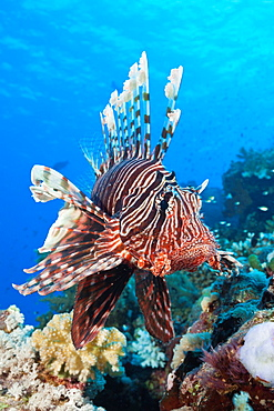 Lionfish over Coral Reef, Pterois miles, Shaab Maksur, Red Sea, Egypt
