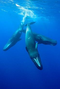 Social bahavior of Sperm Whale, Physeter macrocephalus, Caribbean Sea, Dominica
