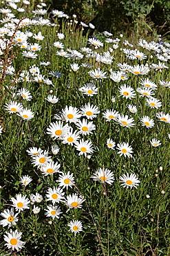 Daisy Flowers in Peru
