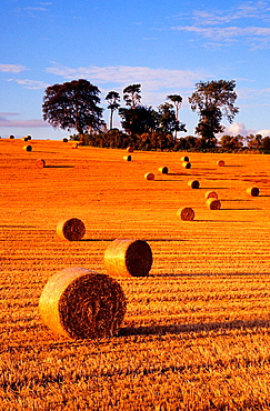 The hay rolls at the farm field near Daventry during the harvest time, Northamptonshire, United Kingdom