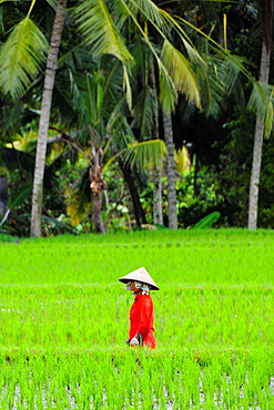 Asia, South-East Asia, Indonesia, Bali, Ubud. Farmer in a rice field.
