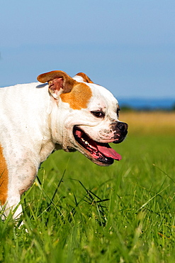 France , Bas Rhin , Obernai , English Bulldog.