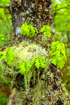 Quercus, Fuentes del Narcea, Degana e Ibias Natural Park, Asturias, Spain, Europe.