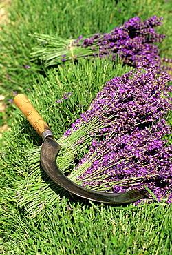 Lavandula angustifolia manual harvesting for bunch, Drome department, region of Rhone-Alpes, France, Europe
