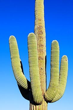 Giant Cactus in Saguaro N P , Arizona, USA