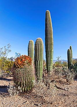 Cacti in Saguaro N P , Arizona, USA