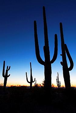 Dusk in Saguaro N P , Arizona, USA