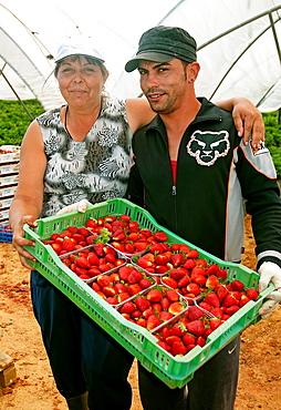 Collecting strawberries, La Redondela, Huelva-province, Spain