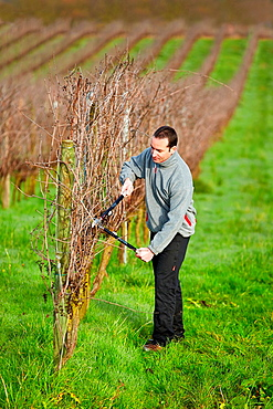 Farmer pruning vineyard, Txakoli, Gipuzkoa, Basque Country, Spain.