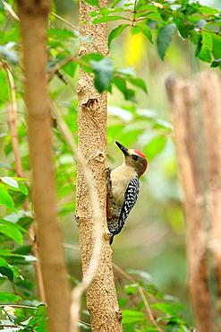 Red-crowned Woodpecker, Venezuela