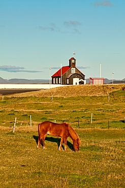 Icelandic horse in the rural Reykjanes Peninsula, Iceland