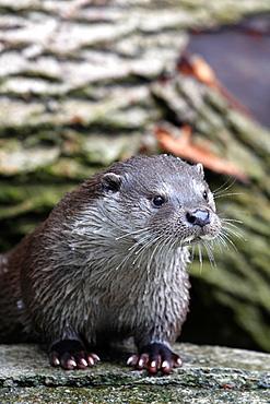 Otter Lutra lutra Sodermanland Sweden.