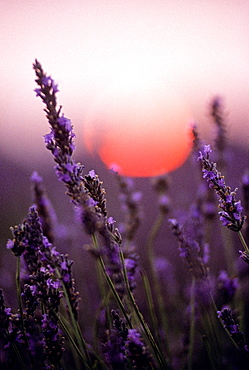 lavender field at sunset, Drome department, region of Rhone-Alpes, France, Europe