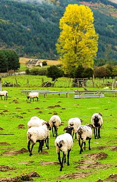 Sheep flock in Belagua area Roncal Valley, Navarre, Spain