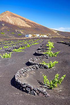 Plantation of vines in volcanic ground in La Geria, Lanzarote Island, Canary Islands, Spain