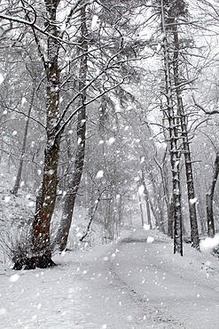 Trees and path in snowy forest