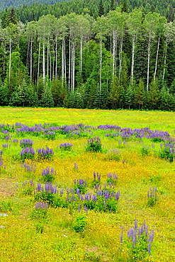 Lupines and aspens in the Mountain View meadows, Mt. Robson Provincial Park, British Columbia, Canada.