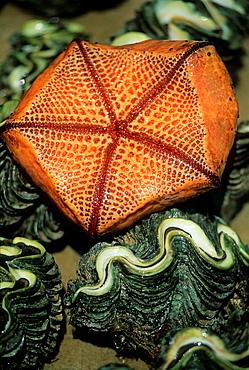 starfish, Praslin island, Republic of Seychelles, Indian Ocean