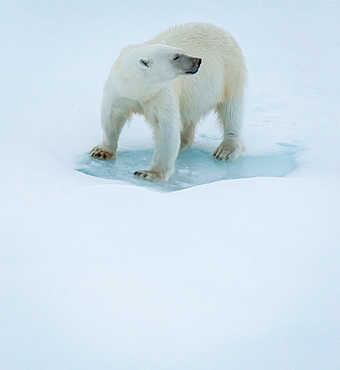 Polar Bear Portrait, Greenland.