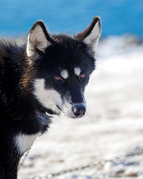 Siberian Husky (Canis familiaris).
