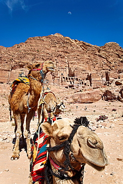 Camels in tombs of petra ruins. jordan.