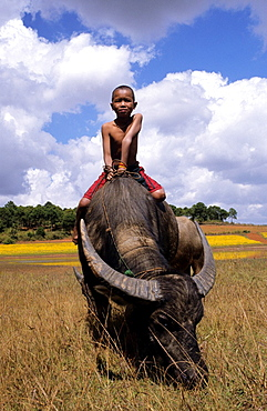 Little Burmese boy sitting on a buffalo peacefully grazing the time