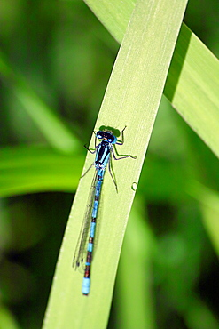 Blue Damselfly, along the banks of the Royal Canal, County Westmeath, Ireland.