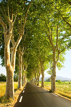 Plane Trees, Platanus orientalis, Trees Lined Road in Provence, France.